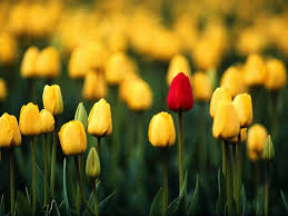 Stand Out Tulip